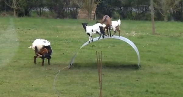 Funny: video shows goats balancing on a flexible steel ribbon