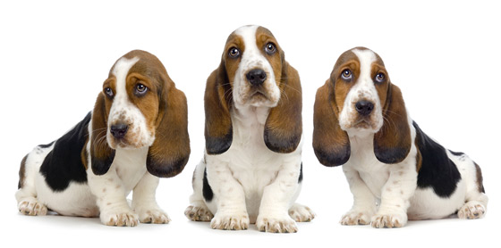 How many Bassets  ?